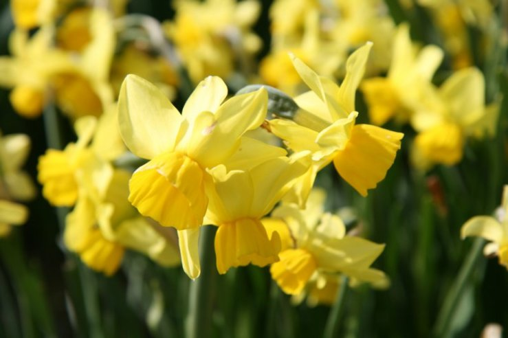 narcissus-cornish-chuckles-flower1